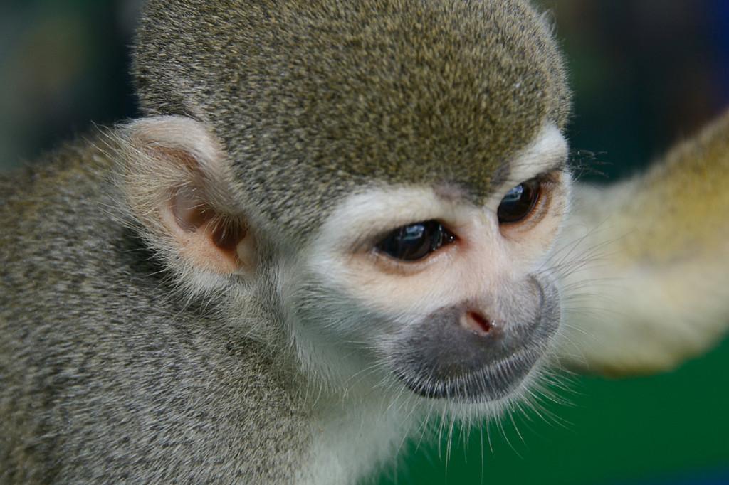 """Amazônia 04 – Fernando Clark """"Macaco típico da Amazônia, vive em bandos, adora roubar comida dos humanos, pela sua proximidade com o índio serve muitas vezes de animal de estimação para os indígenas"""""""